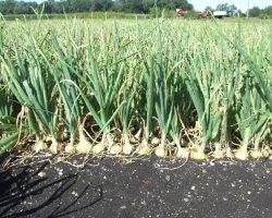 Озимый лук: выращивание и уход